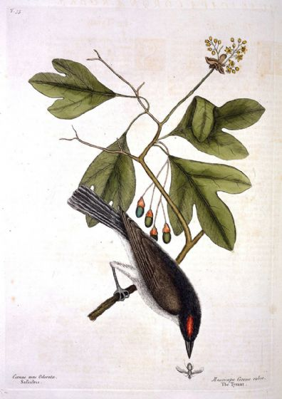 Catesby, Mark: The Tyrant Bird on a Sprig of Sassafras. Fine Art Print/Poster (4741)